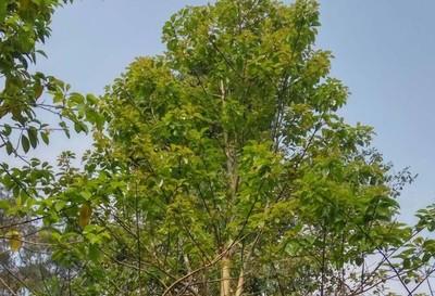 景观树专题